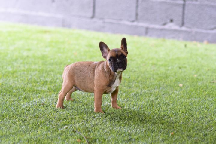 cachorrita bulldog frances hembra color sable Elena 2