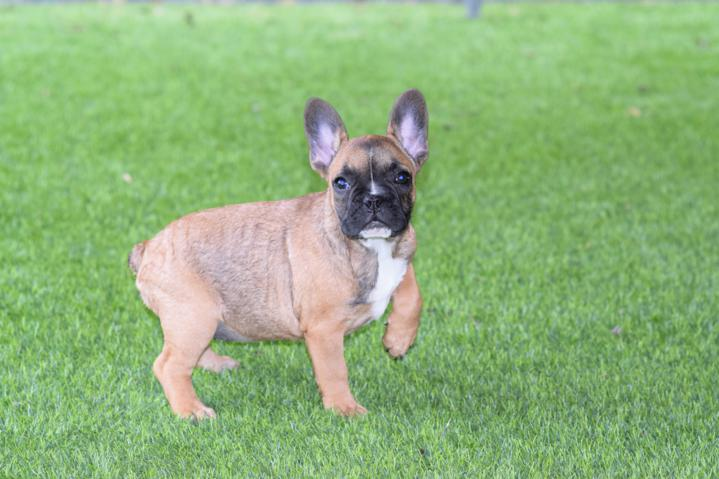 cachorrita bulldog frances hembra color sable Elena 3