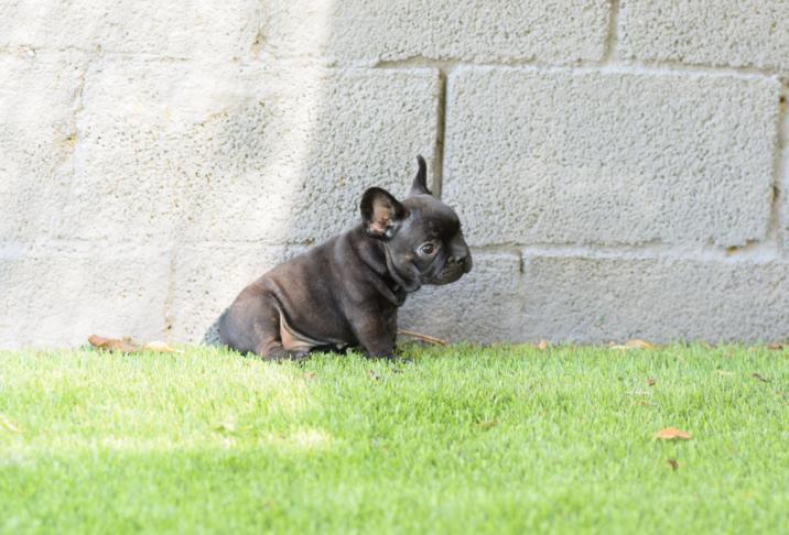 cachorrito bulldog frances macho negro tomy 3