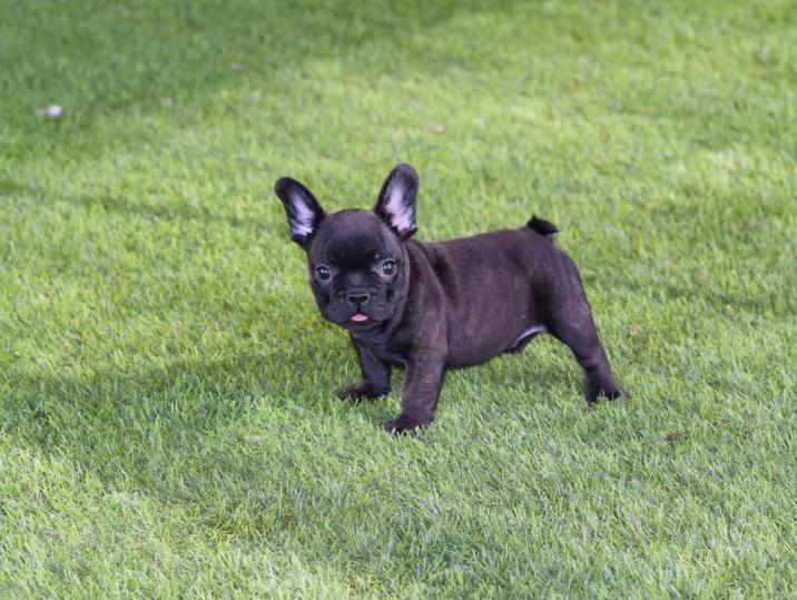 cachorrito bulldog frances macho negro tomy
