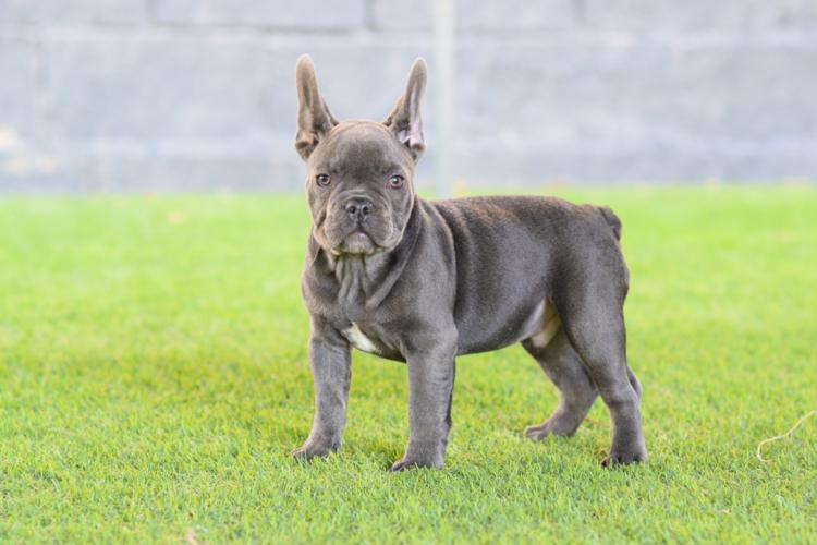 precioso cachorro bulldog frances color blue, macho. Luisito 3