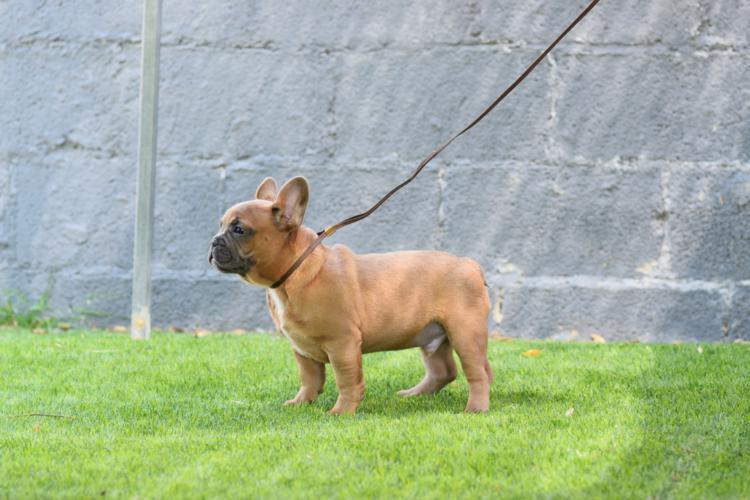 cachorro bulldog frances color blue fawn, macho. Cacharro2