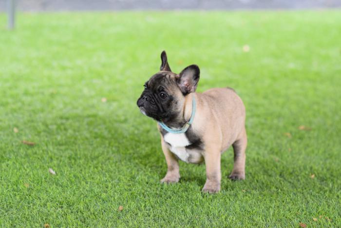 Cachorros de bulldog frances marrones hembras, Margarita 4