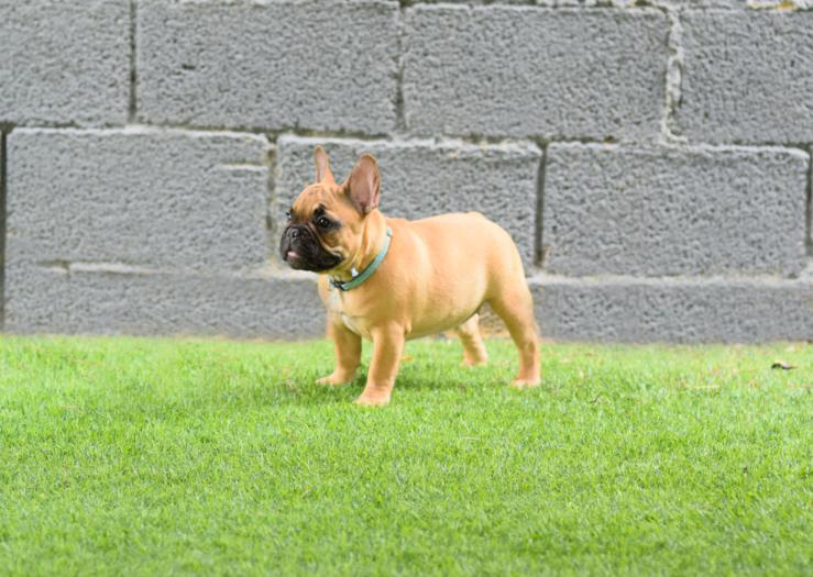 Cachorro bulldog frances fawn, hembra Melani 4