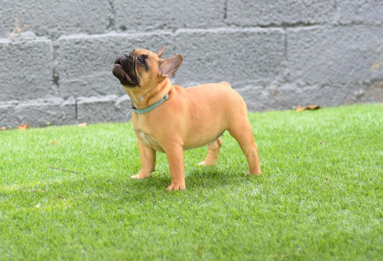 Cachorro bulldog frances fawn, hembra Melani 5