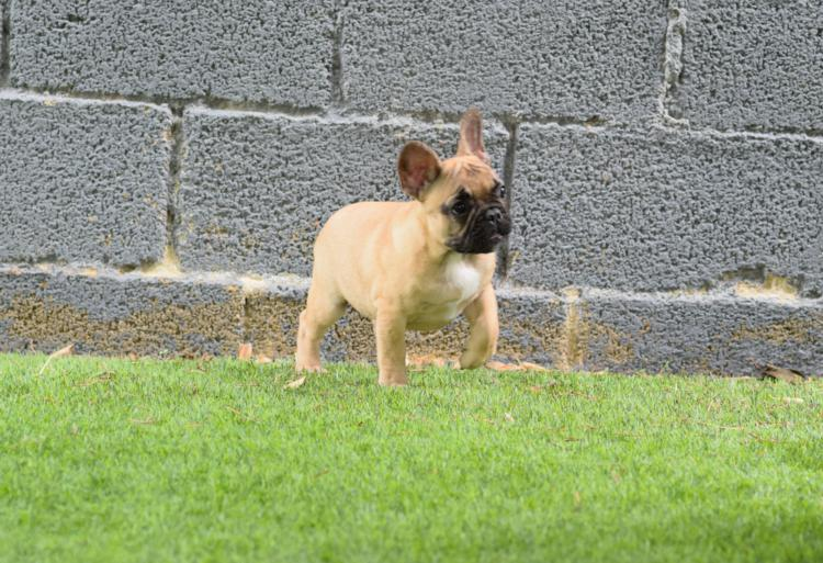 cachorros bulldog frances, hembra canela, Caliop 4
