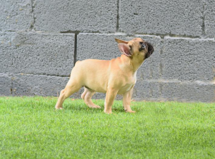 Preciosos cachorros de bulldog frances, hembra canela, Caliop