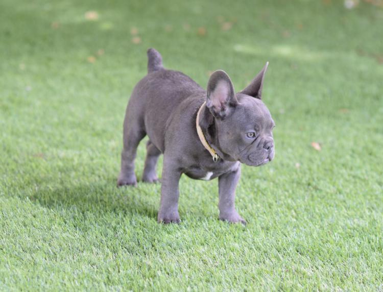 cachorrita bulldog frances color blue hembra Gabriela