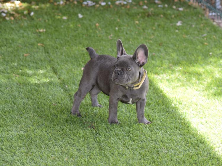 cachorrita bulldog frances color blue hembra Gabriela 2
