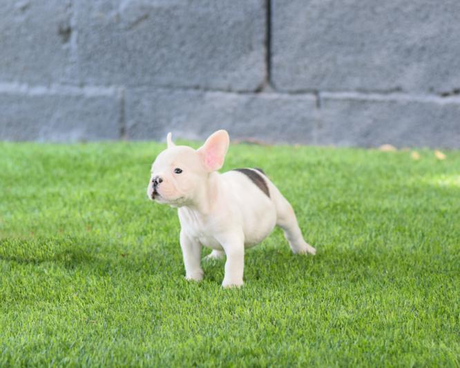 cachorrito bulldog frances blanco y fawn macho Mileto