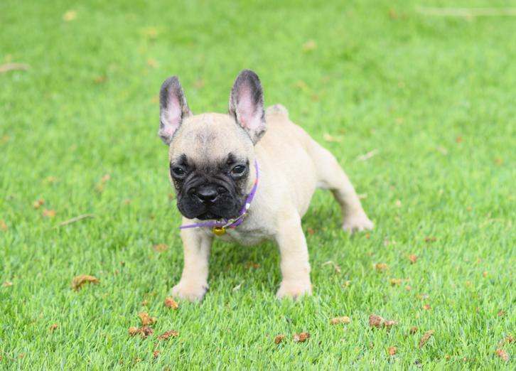 bulldog frances Fawn cachorro Albaro 4