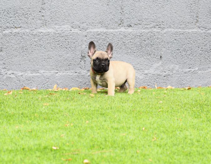 bulldog frances Fawn cachorro Alejandro 3