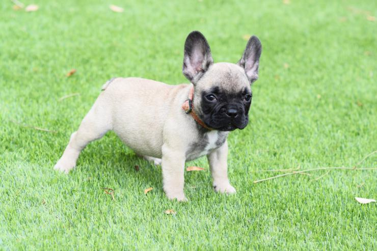 bulldog frances Fawn cachorro Alejandro