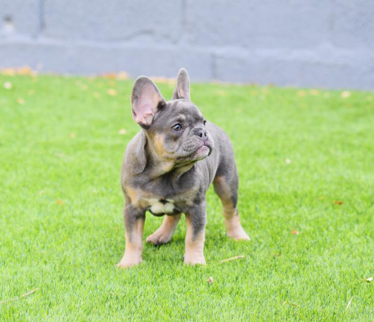 cachorrita bulldog frances blue & tan Brina 3