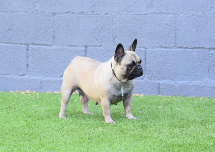 bulldog frances hembra Rosa Dorada Susana 4