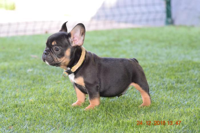 El mejor cachorrito de bulldog frances Blak and tan, Aaron 3