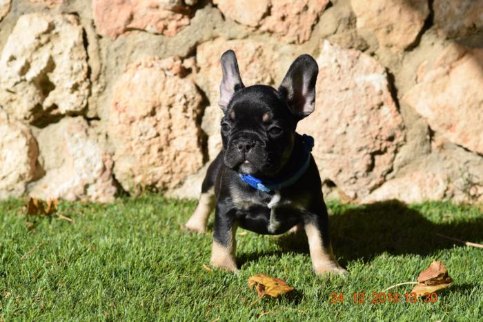 El mejor cachorrito de bulldog frances Blak and tan, Akemi 2