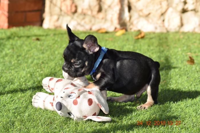 El mejor cachorrito de bulldog frances Blak and tan, Akemi