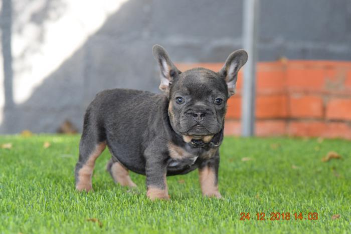 El mejor cachorrito de bulldog frances Blue and tan, Adam 4