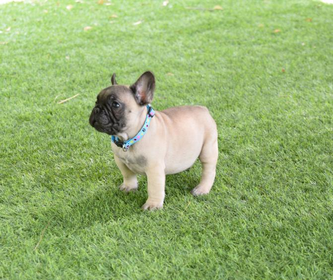 guapo cachorro bulldog frances, leonardito 4