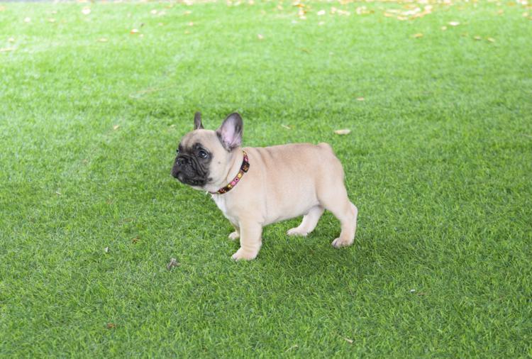 en el cesped este bonito cachorro bulldog, lucio 3