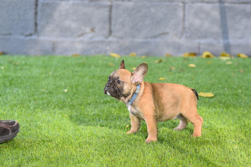 bulldog frances cachorro, Carmelo 5