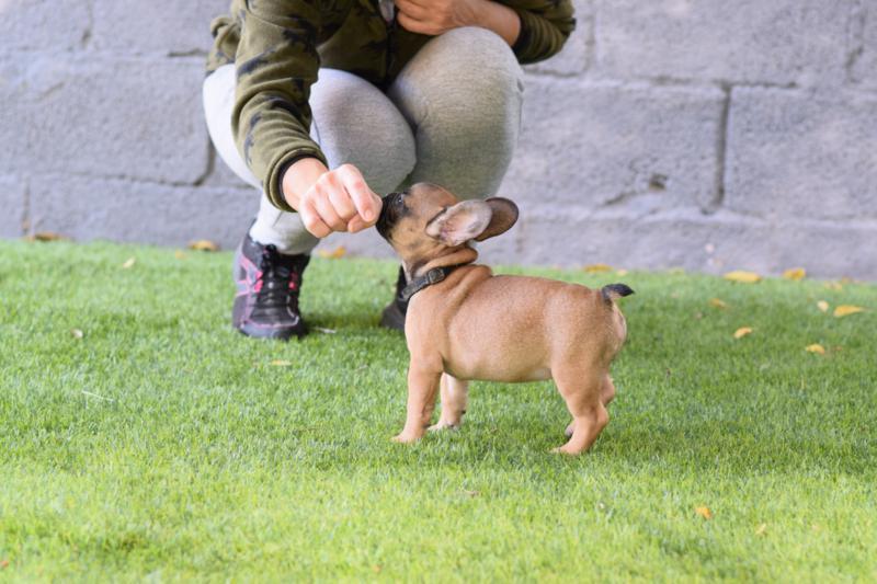 el mejor cachorro de bulldog frances