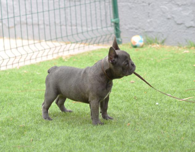cachorrita de bulldog frances blue, hembra. Carina 2