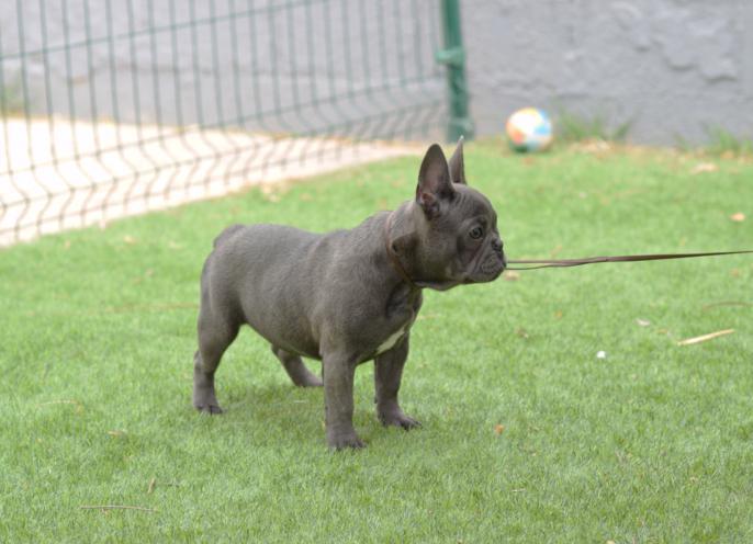 Hembra bulldog frances blue, cachorrita. Carina 4