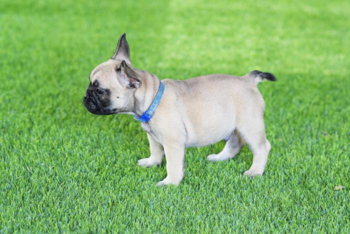 cachorrito bulldog frances Camilo 3
