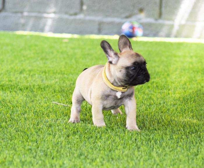 cachorrito bulldog frances Costantino 2