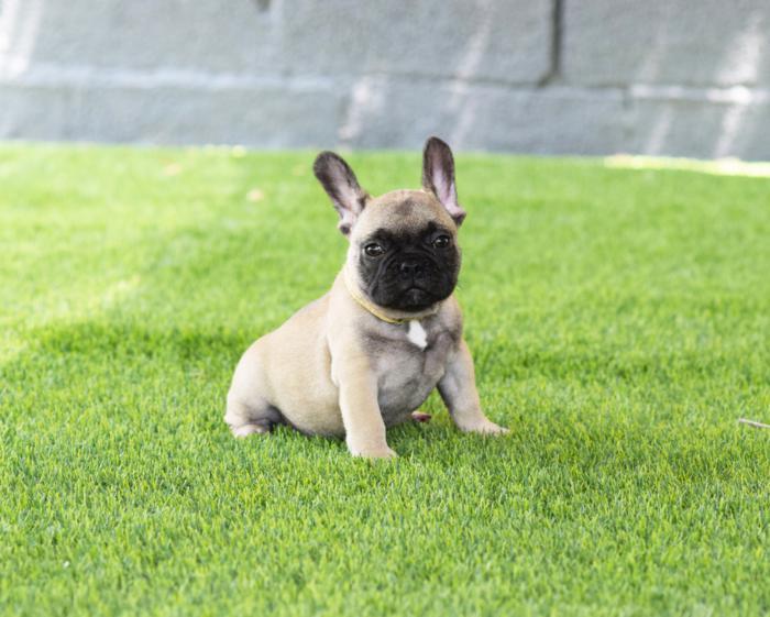 cachorrito bulldog frances Costantino 3