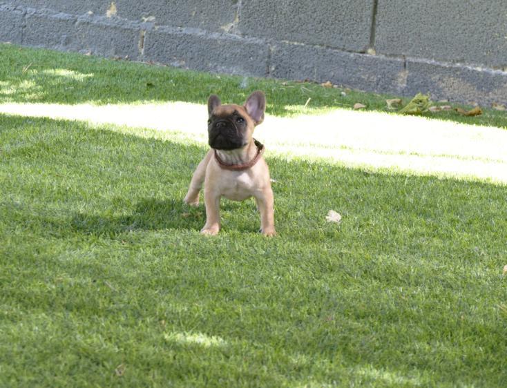 cachorrita de bulldog frances fawn, viky 2