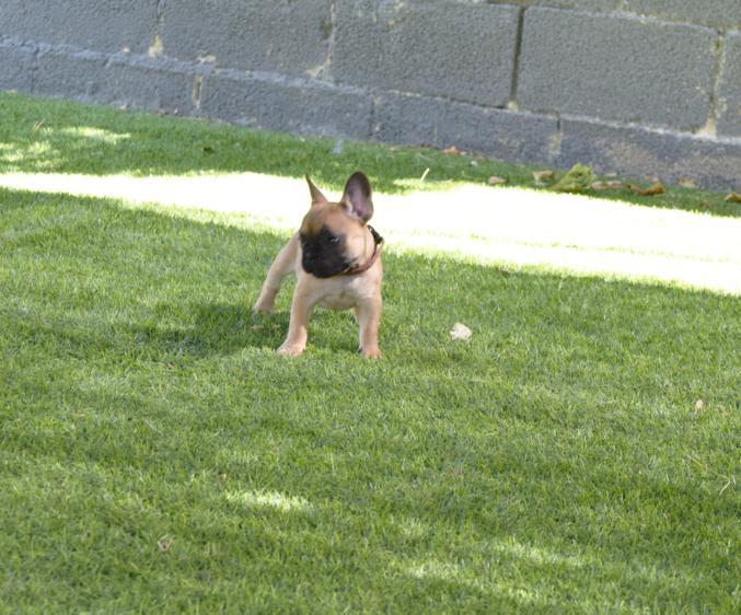 cachorrita de bulldog frances color fawn, Viky 3