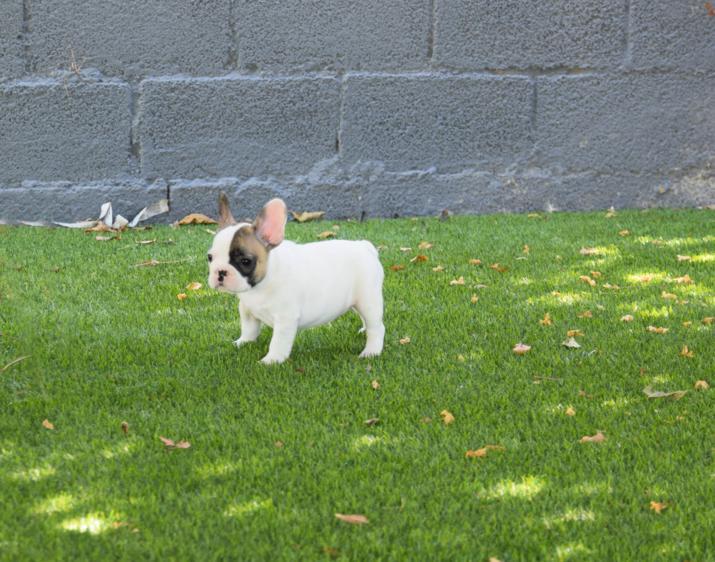 cachorros de bulldog frances color blanco y fawn,2