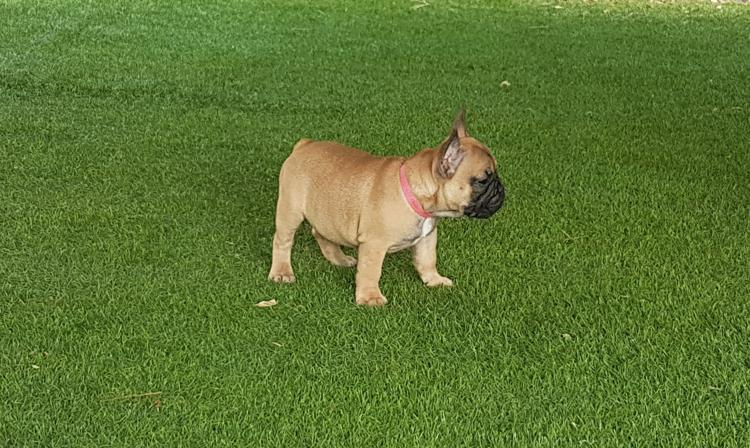 cachorrita de bulldog frances leonado, Laeticia 3