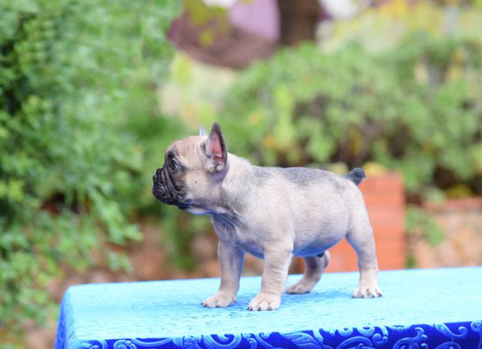 en venta cachorro bulldog frances Adrian 4