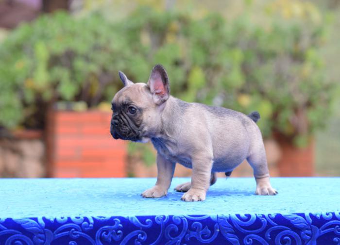 en venta cachorro bulldog frances Adrian