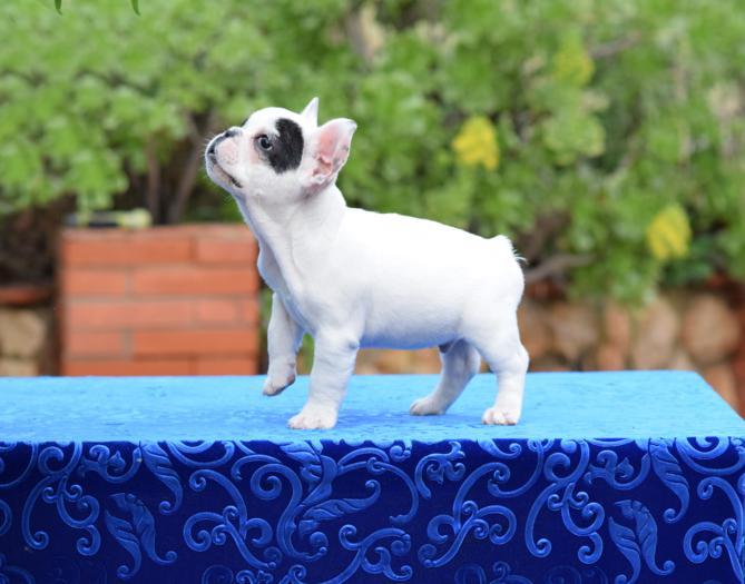 venta de cachorros bulldog frances 2
