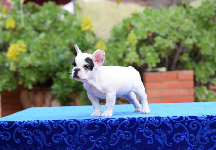 venta de cachorros bulldog frances 3