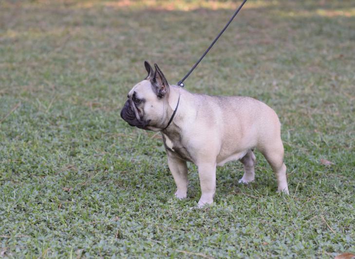 hembra de bulldog frances Rosa Dorada Desire 2