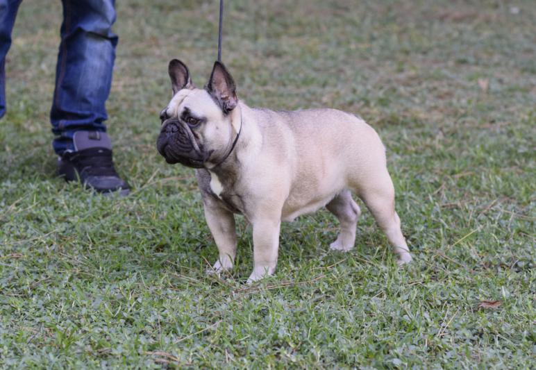 hembra de bulldog frances Rosa Dorada Desire 4
