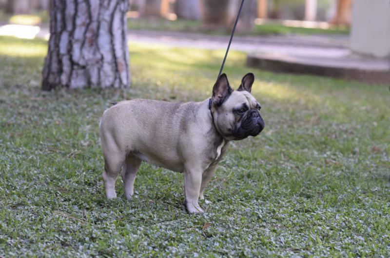 hembra de bulldog frances Rosa Dorada Desire 5