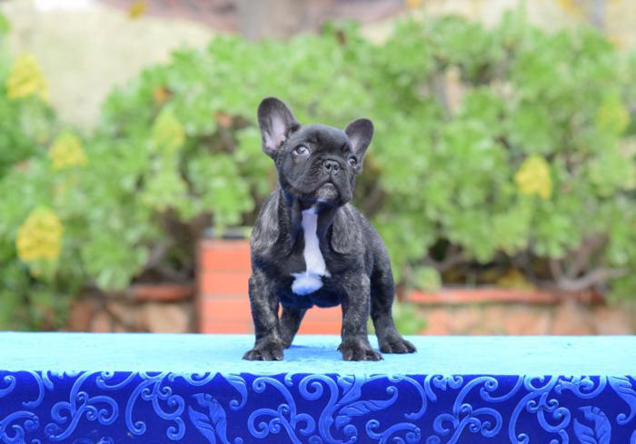 venta de cachorros bulldog frances 13