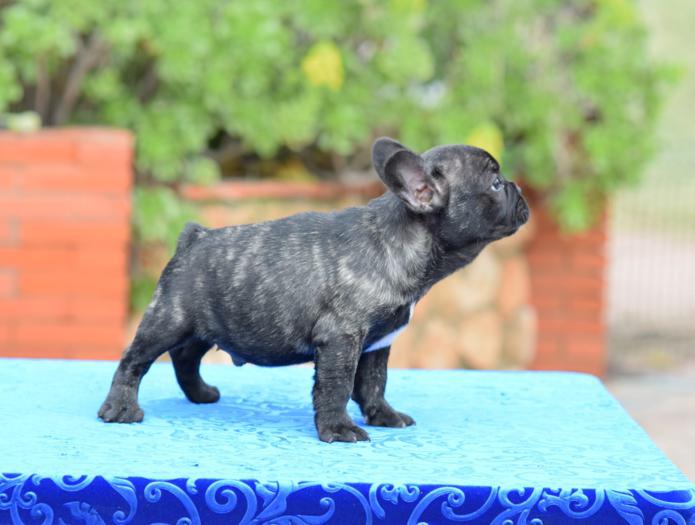 venta de cachorros bulldog frances 6