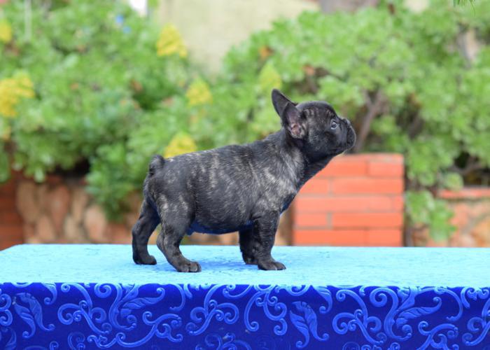 venta de cachorros bulldog frances 11