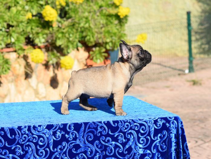 cachorro bulldog frances en venta Maldox 5