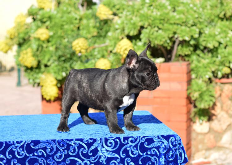 cachorro bulldog frances macho Patx 27