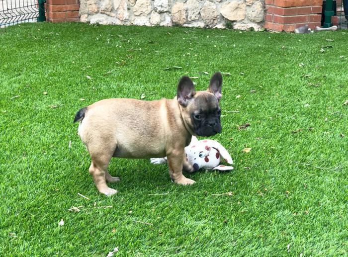 cachorrito bulldog frances aurelio padre Blue & tan 2