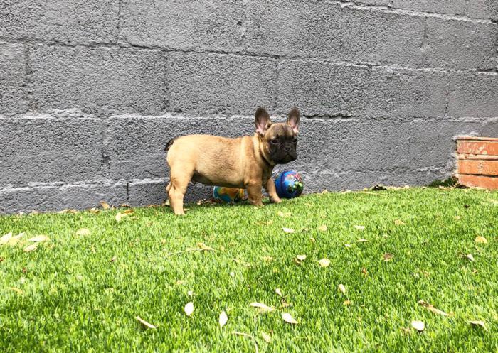 cachorrito bulldog frances aurelio padre Blue & tan 12